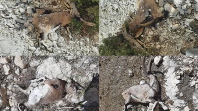 Mavga Kalesi'nde Toplu Yaban Keçisi Ölümü