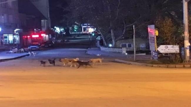 Büyükşehir Mut'ta Sokak  Köpeklerini Toplatıyor