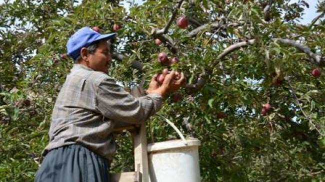Elma üretimi çok, alıcı yok